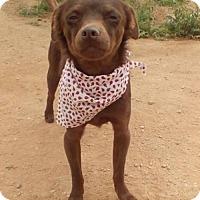 Adopt A Pet :: Koko - Apple Valley, CA
