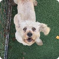 Adopt A Pet :: SIMON - San Pablo, CA