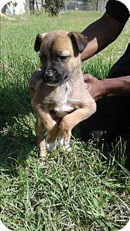 Corgi/Border Collie Mix Puppy for adoption in Barnwell, South Carolina - Eve