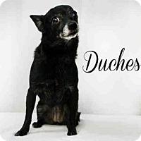 Adopt A Pet :: *DUCHESS - Sugar Land, TX