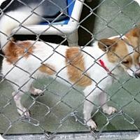 Adopt A Pet :: Cory - Winters, CA