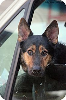 German Shepherd Dog Dog for adoption in Mead, Washington - Souther