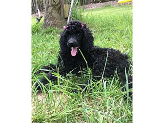 Poodle (Standard) Mix Dog for adoption in Alpharetta, Georgia - Lucylu