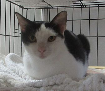 Domestic Shorthair Cat for adoption in Jackson, Missouri - Peppermint Patty