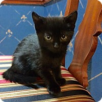 Adopt A Pet :: Midnight - Sugar Land, TX
