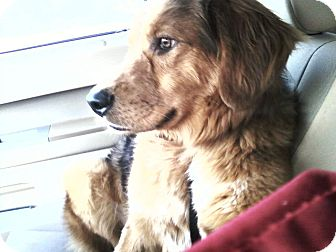 Golden Retriever/Australian Shepherd Mix Dog for adoption in Plainfield, Connecticut - Camo