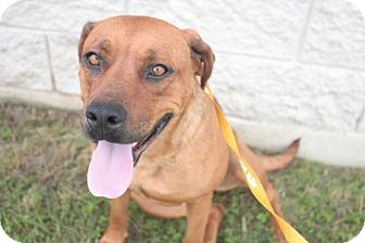 Mastiff/Boxer Mix Dog for adoption in Stilwell, Oklahoma - Nala