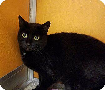 Domestic Shorthair Cat for adoption in Elyria, Ohio - Tessa