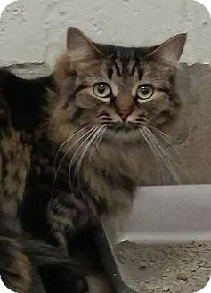 Maine Coon Cat for adoption in Absecon, New Jersey - Georgie Courtesy Post