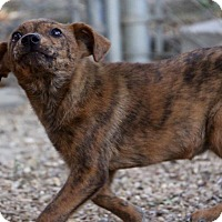 Adopt A Pet :: Verona in CT - Manchester, CT