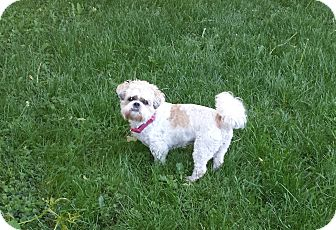 Shih Tzu Mix Dog for adoption in Schofield, Wisconsin - Gismo
