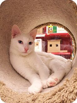 Domestic Shorthair Cat for adoption in Fountain Hills, Arizona - TANGO