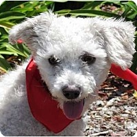 Adopt A Pet :: Bo - Encinitas, CA