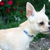 Adopt A Pet :: Astro Boy - Shawnee Mission, KS