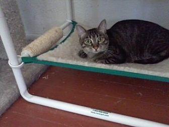 Domestic Shorthair Cat for adoption in Prescott, Arizona - Twyla