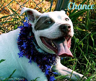 American Bulldog/American Pit Bull Terrier Mix Dog for adoption in Columbia, Tennessee - Chance