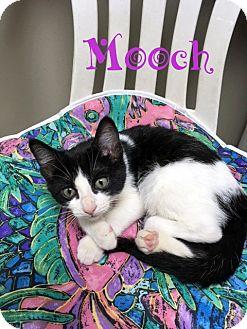 Domestic Shorthair Kitten for adoption in Creston, British Columbia - Mooch