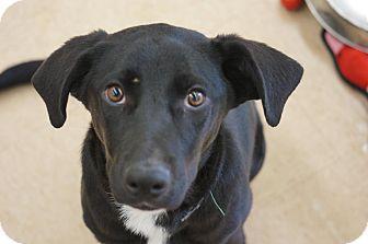 Labrador Retriever Mix Puppy for adoption in Smithtown, New York - Mira