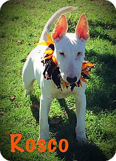 Bull Terrier Puppy for adoption in Dallas, Texas - Roscoe