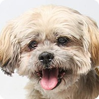 Lhasa Apso Dog for adoption in Colorado Springs, Colorado - Ken