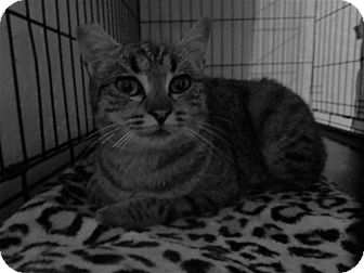 Domestic Shorthair Cat for adoption in Coos Bay, Oregon - Venna