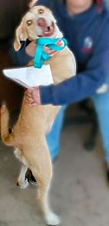 Labrador Retriever/Hound (Unknown Type) Mix Dog for adoption in Clifton Forge, Virginia - Mazie