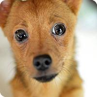 Adopt A Pet :: Donnor - Vacaville, CA