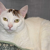Adopt A Pet :: Kitty - Casa Grande, AZ
