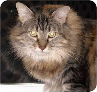 Maine Coon Cat for adoption in Elkton, Maryland - Muffin
