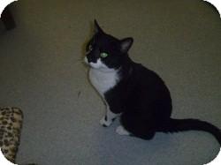 Domestic Shorthair Cat for adoption in Hamburg, New York - Minnow