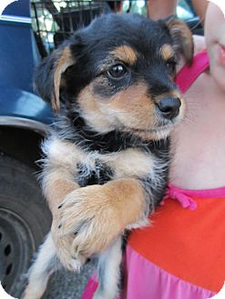 Yorkie, Yorkshire Terrier/Poodle (Miniature) Mix Puppy for adoption in Glastonbury, Connecticut - Gitta- Adopted