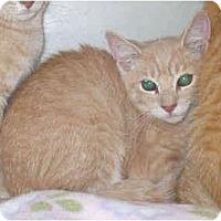 Adopt A Pet :: Creamsicle - Colmar, PA