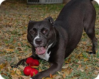 American Staffordshire Terrier Mix Dog for adoption in Plant City, Florida - Allie