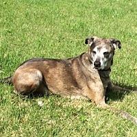 Adopt A Pet :: Dozer - O'Fallon, MO