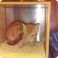 Domestic Shorthair Kitten for adoption in Lancaster, California - Nibs