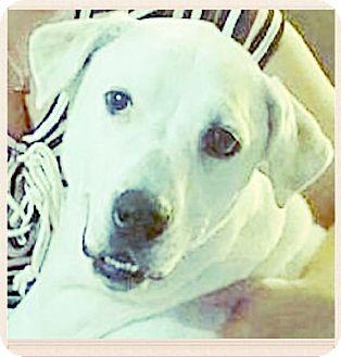 Labrador Retriever Dog for adoption in Miami, Florida - Sam