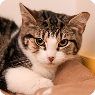 Domestic Shorthair Cat for adoption in Brimfield, Massachusetts - Zelda