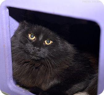 Domestic Shorthair Cat for adoption in Medina, Ohio - Hansel
