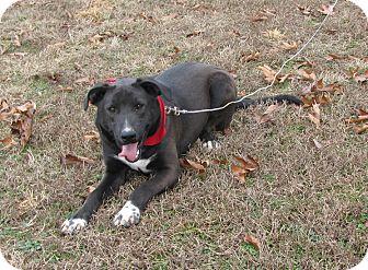 Labrador Retriever Mix Dog for adoption in Oakland, Arkansas - Jhett