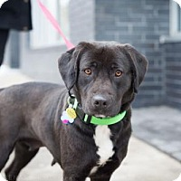 Adopt A Pet :: Daisy Buchanan - Brooklyn, NY