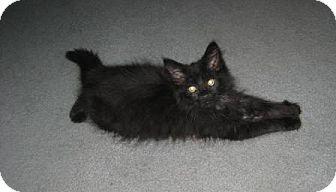 Domestic Longhair Kitten for adoption in Kirkwood, Delaware - Puff Ball