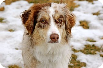 Australian Shepherd Mix Dog for adoption in Meridian, Idaho - Harley
