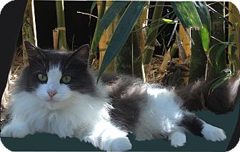 Domestic Longhair Cat for adoption in Naples, Florida - Emily
