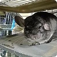 Adopt A Pet :: Gringo - Granby, CT