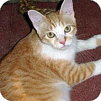Adopt A Pet :: Tommy - Round Rock, TX