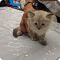 Adopt A Pet :: Delilah - Lighthouse Point, FL