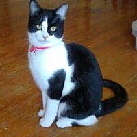 Domestic Shorthair Cat for adoption in Cincinnati, Ohio - Gypsy Rose
