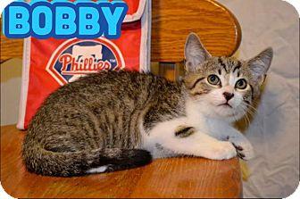 Domestic Shorthair Kitten for adoption in Trevose, Pennsylvania - Bobby