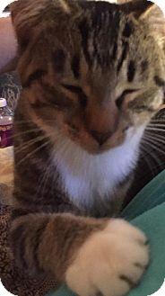 Domestic Shorthair Cat for adoption in Caro, Michigan - Tootsie