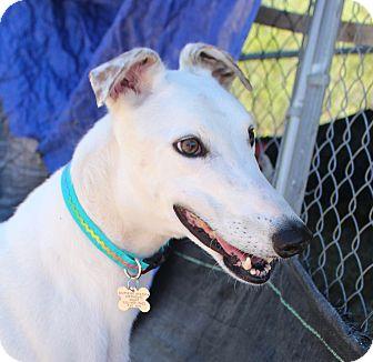 Greyhound Dog for adoption in Tucson, Arizona - Gilroy